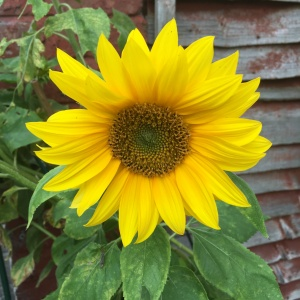 Sunflower from July